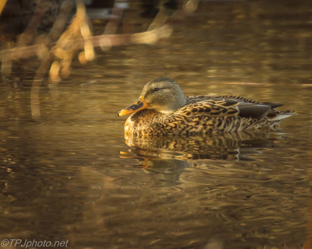Female Mallard In The Reeds - Click To Enlarge