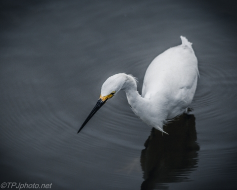 Snowy Egret Fishing - Click To Enlarge