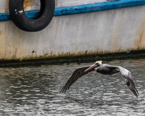 Harbor Brown Pelican - Click To Enlarge
