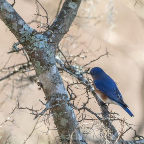 Bluebird - Click To Enlarge