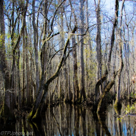 Cypress Swamp - Click To Enlarge