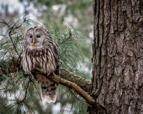 Ural Owl - Click To Enlarge