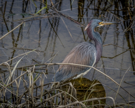 Tricolored Heron - Click To Enlarge