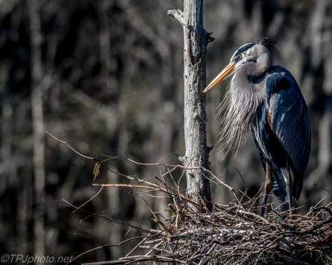 Great Blue Heron Nesting - Click To Enlarge