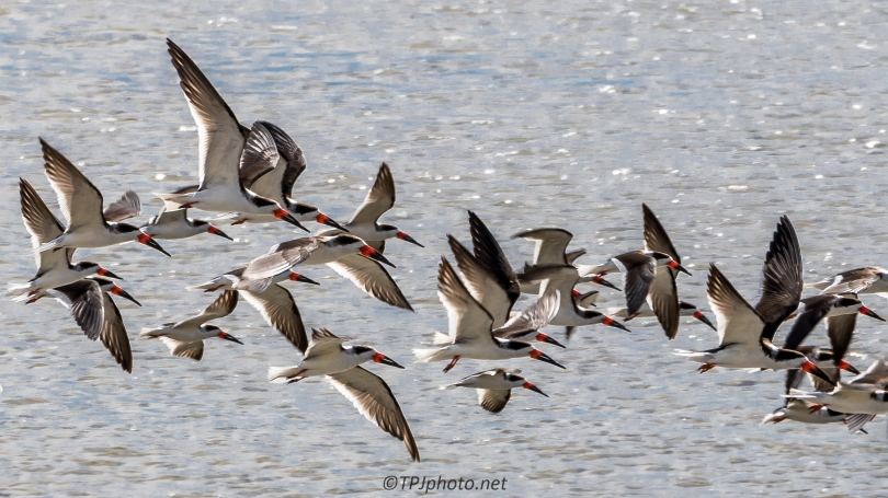 Black Skimmers - Click To Enlarge
