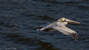 Low LIght Brown Pelican - Click To Enlarge