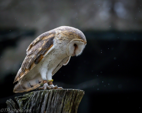 Barn Owl - Click To Enlarge