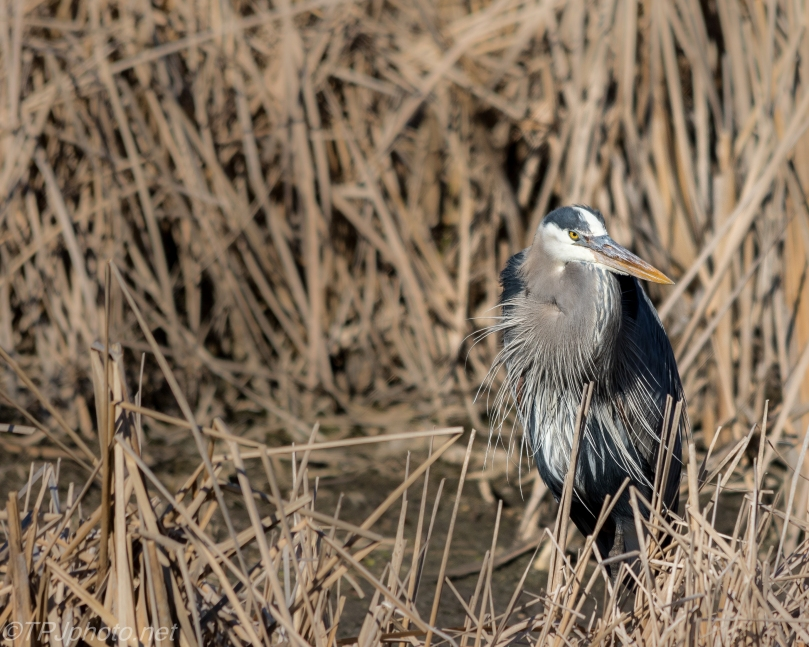 Great Blue Heron - Click To Enlarge