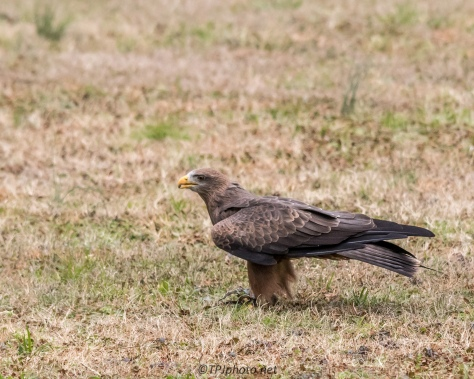 Yellow Billed Kite - Click To Enlarge