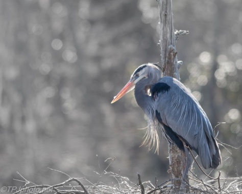 Nesting Blue Heron - Click To Enlarge
