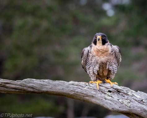 Peregrine Falcon - Click To Enlarge