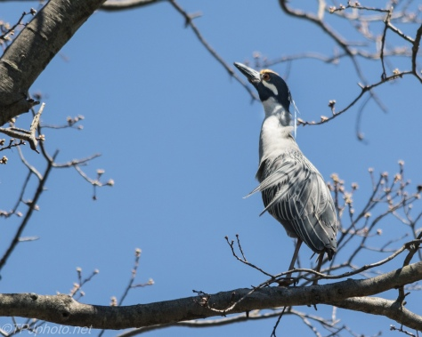 Yellow-crowned Night-Heron - Click To Enlarge