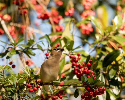 Cedar Waxwing - Click To Enlarge