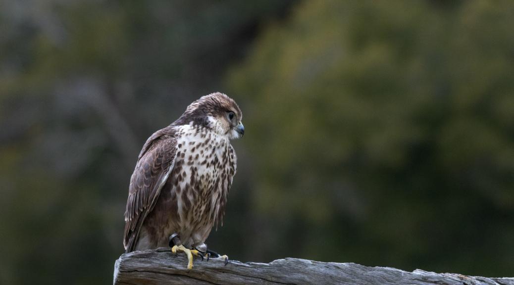Rare Saker Falcon - Click To Enlarge