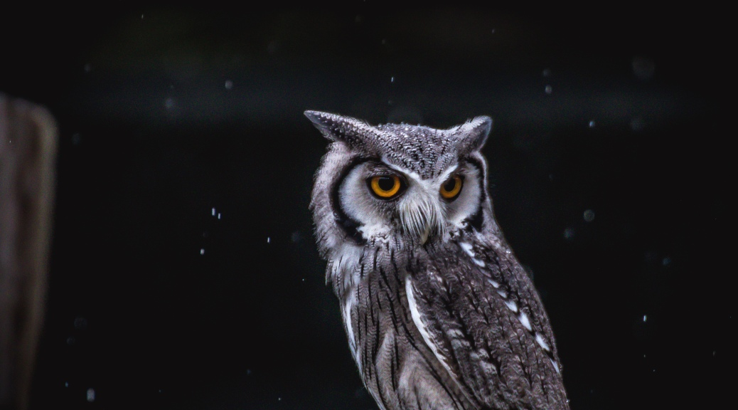 Scups Owl In Rain - Click To Enlarge
