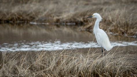 Dreary Snowy Egret - Click To Enlarge