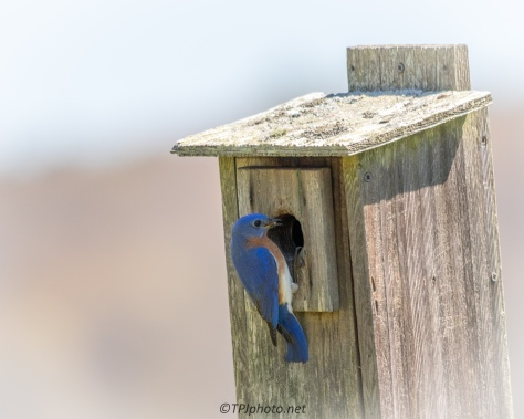 Nest Box Bluebirds - Click To Enlarge