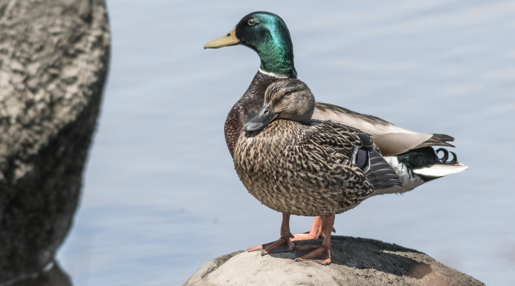 Mallard Couple - Click To Enlarge