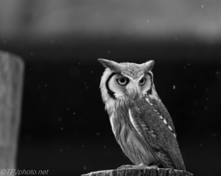 Scups Owl
