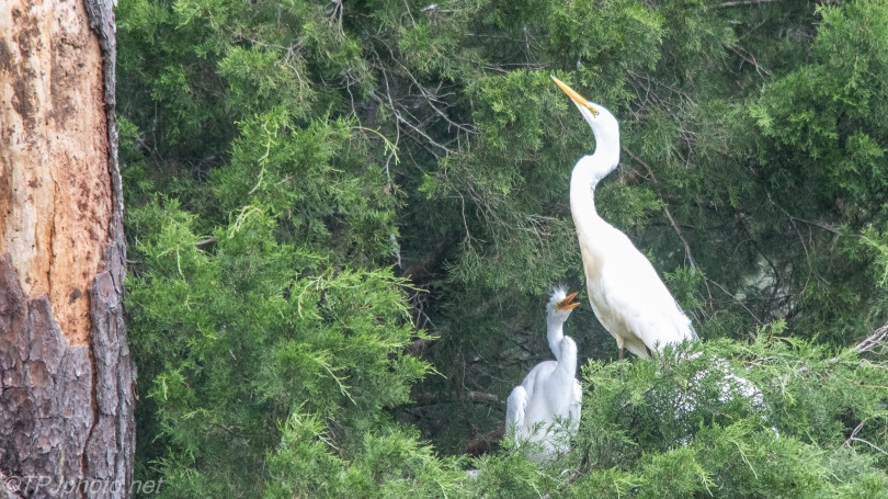 Great Egret With Juvenile - Click To Enlarge