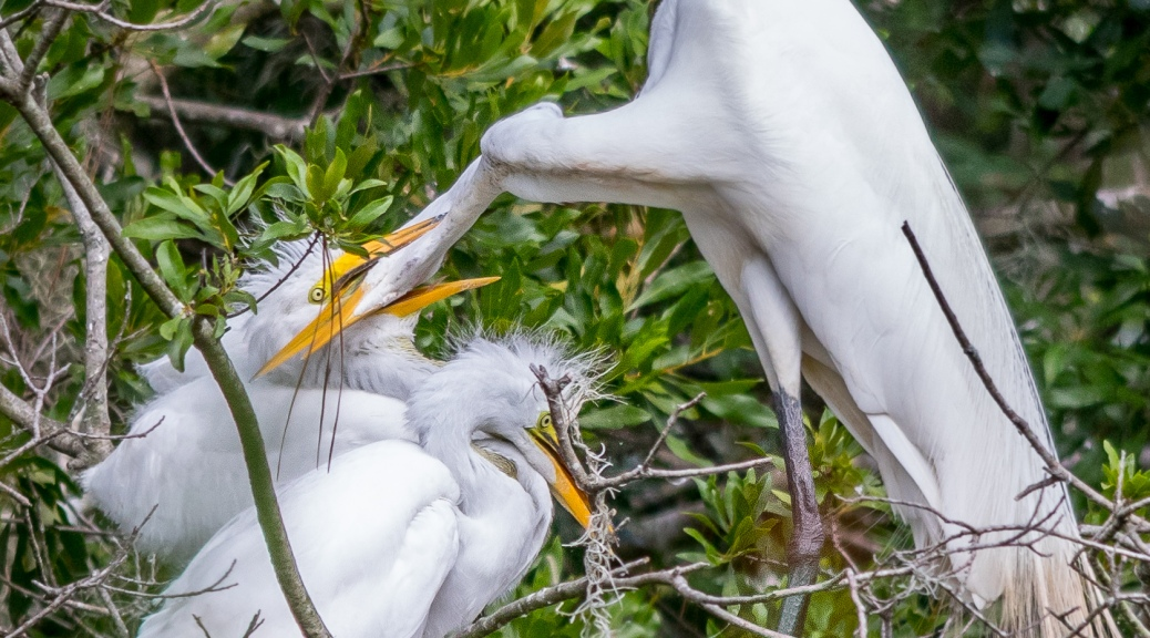 It's Not Easy Being A Mother, Great Egret - Click To Enlarge