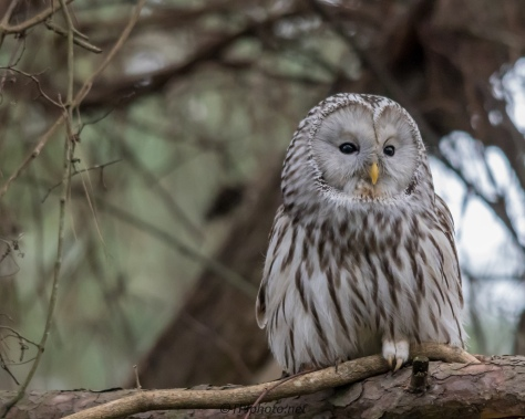 Ural Owl In Pine Tree - Click To Enlarge