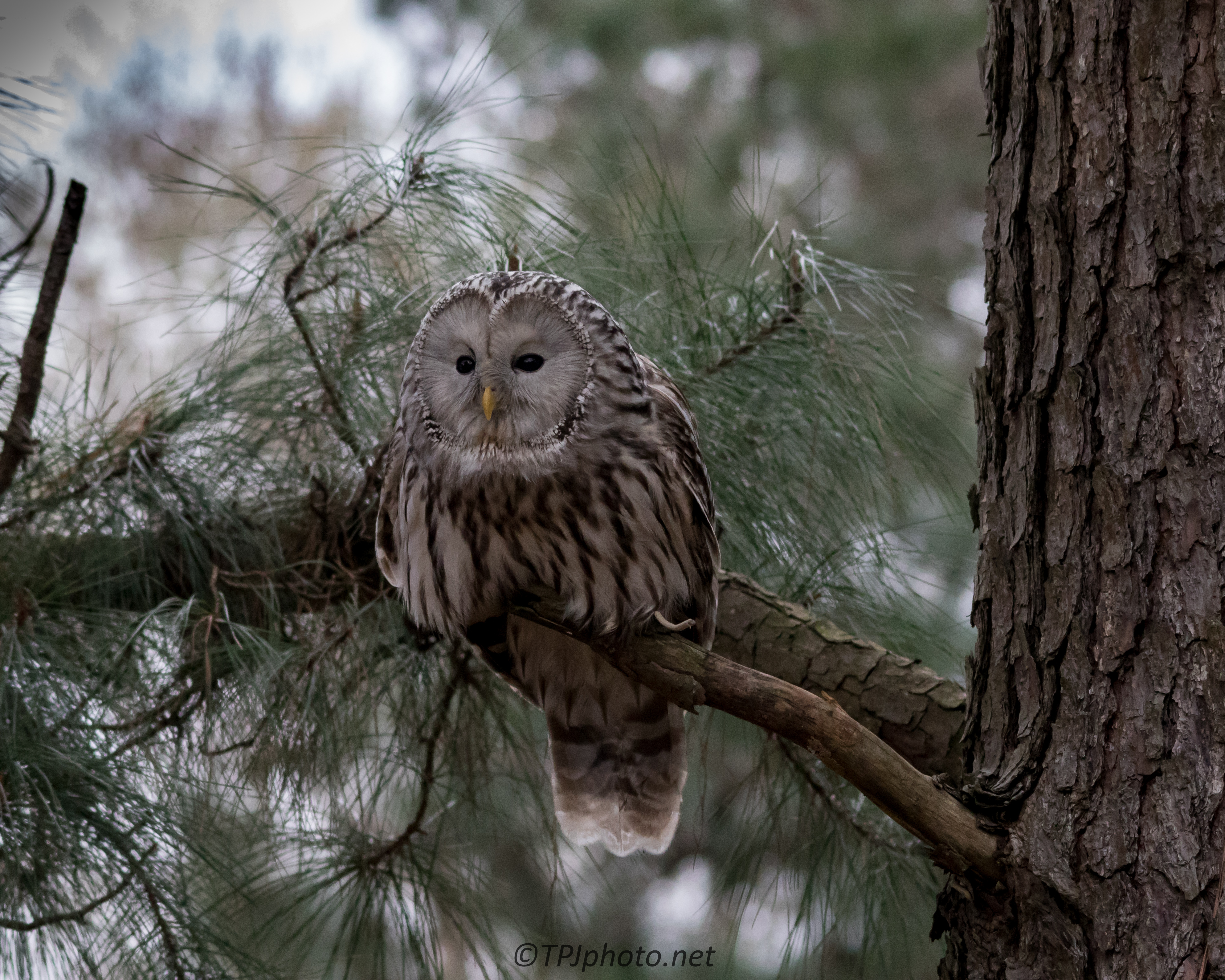 Discussion on this topic: How to Photograph Owls, how-to-photograph-owls/