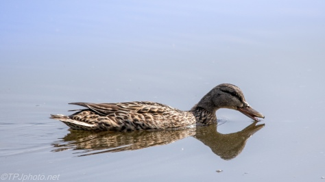 Female Mallard - Click To Enlarge