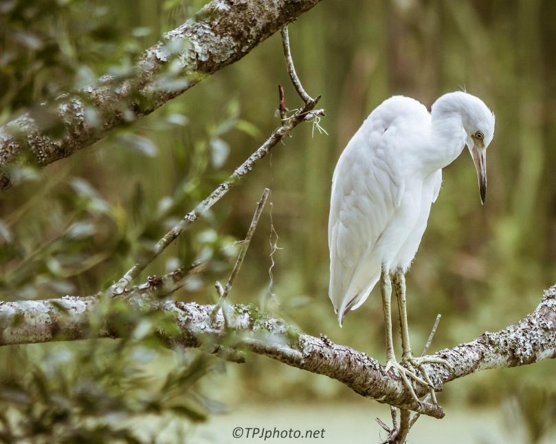 Juvenile Little Blue Heron - Click To Enlarge