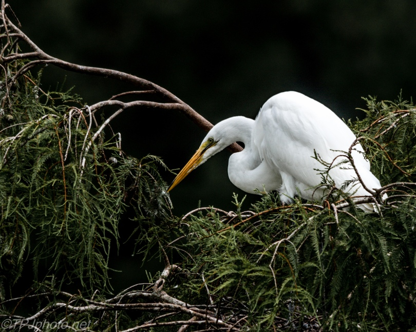 Versions Of A Great Egret - Click To Enlarge