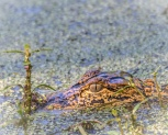 Close Up Alligator Watching - Click To Enlarge