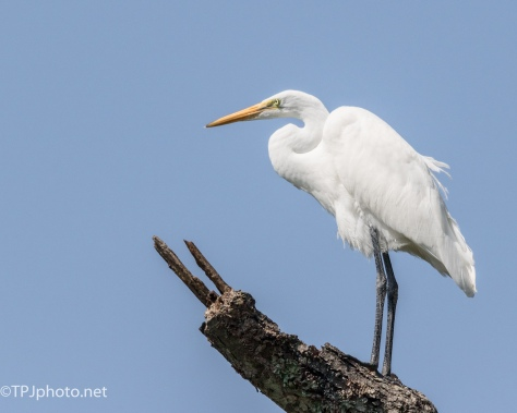 Great Egret In The Sun - Click To Enlarge