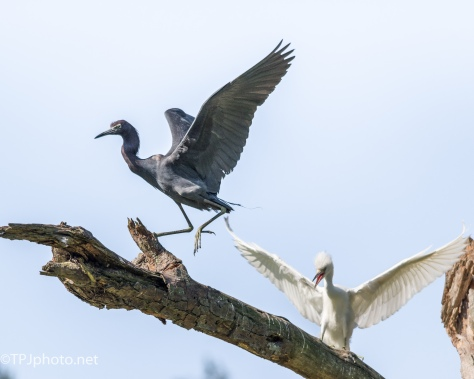 Adult Little Blue Heron Teaching A Juvenile - Click To Enlarge