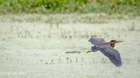 Fast Green Heron Fly By - Click To Enlarge