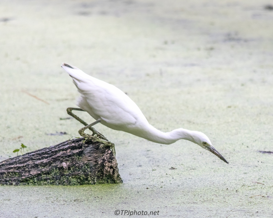 Egret Waiting For The Right Moment - Click To Enlarge