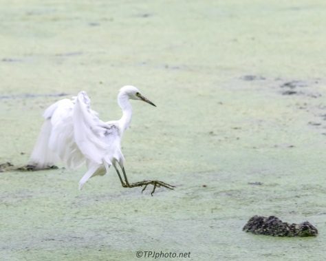 Juvenile Egret Pin Point Landing - Click To Enlarge