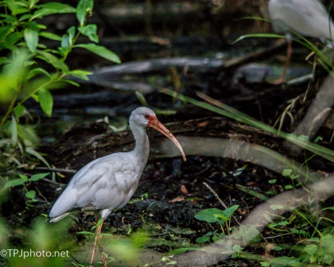 Hidden White Ibis - Click To Enlarge