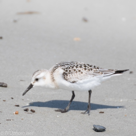 Sanderling - Click To Enlarge