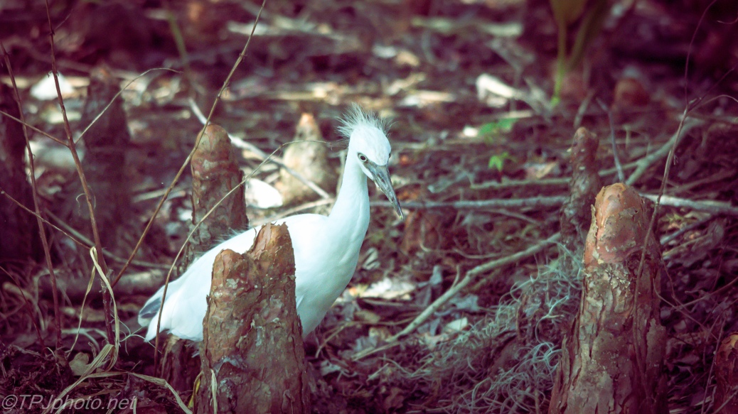 Juvenile Little Blue Heron In The Tupelo Trees - Click To Enlarge