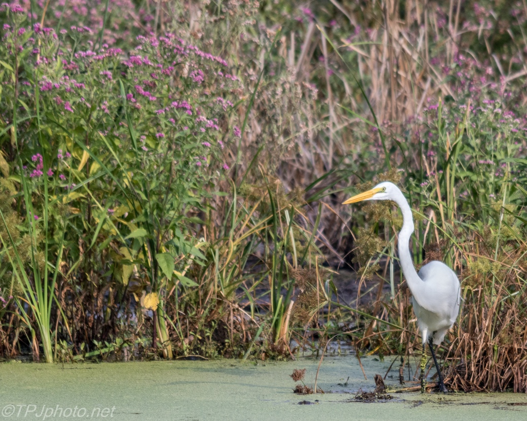 Great Egret In Reeds - Click To Enlarge