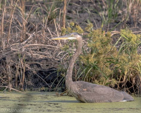Great Blue Heron In The Reeds - Click To Enlarge