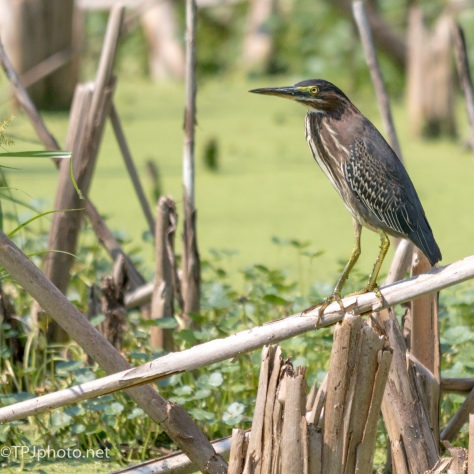 Green Heron In The Cane - Click To Enlarge