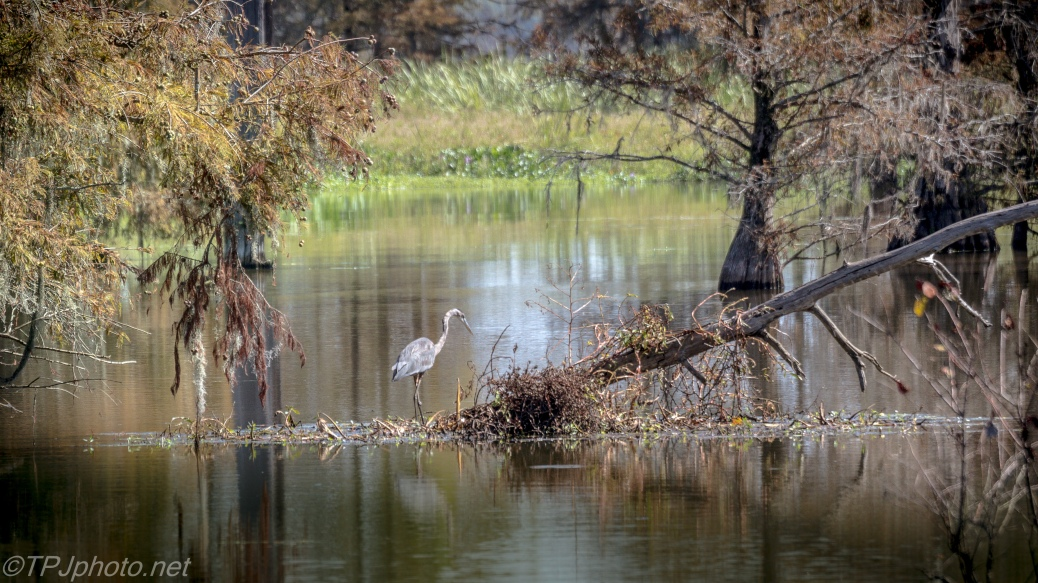 Heron In A Swamp - Click To Enlarge