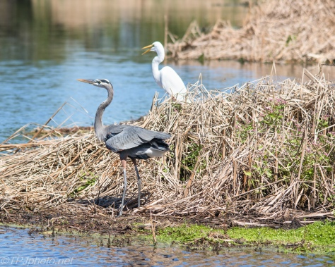 Great Blue Heron With Great Egret - Click To Enlarge