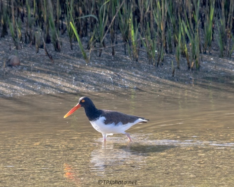 Oyster Catcher At Low Tide - Click To Enlarge