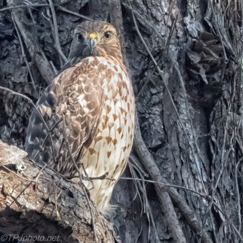 Coopers Hawk - Click To Enlarge