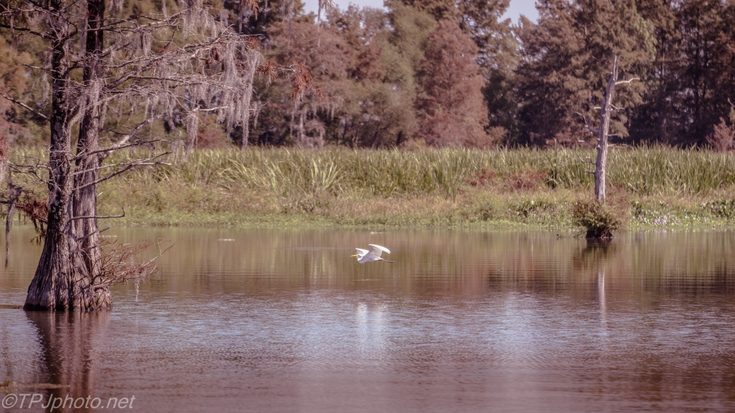 Egret Passing By - Click To Enlarge