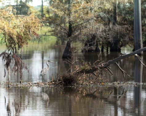Tupelo Swamp Birds - Click To Enlarge