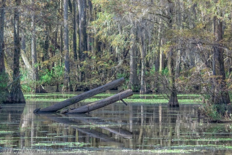Inside A Tupelo Swamp - Click To Enlarge