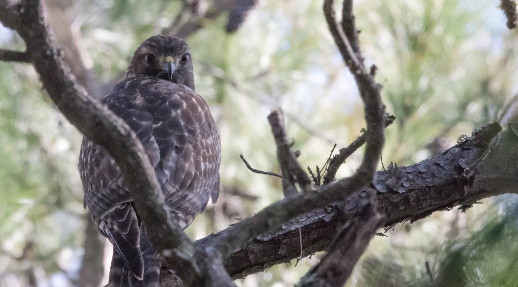 Hidden Coopers Hawk - Click To Enlarge